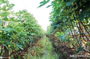 种植无花果虽好管理,但若忽略这些问题,照样低产、品差、病害多