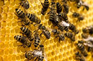 何必大动干戈处理蜜蜂产卵问题呢?老农的方法很实用,可很少人懂