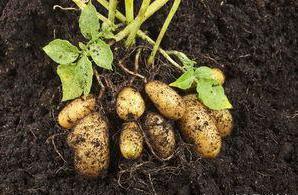 土豆给了我什么样的启发作文一百字