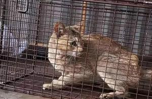 中国小橘猫误关集装箱来到意大利,猫科动物不吃不喝能活多久?