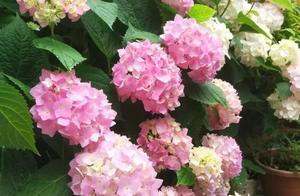 绣球花,花后这样剪两刀,加1水,今年还可再爆一次花!
