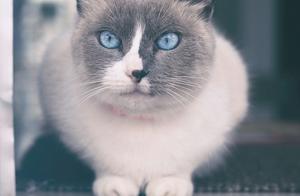 十大受欢迎的猫咪种类,加菲猫、波斯猫、折耳猫等你最喜欢哪种