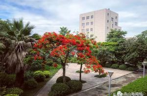 漳州东山:凤凰花开一片火红火红,太美了