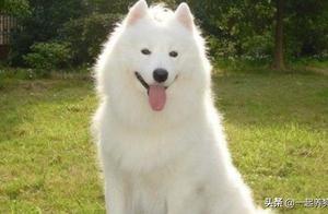 萨摩耶是大型犬吗?严格意义上来说还算不上