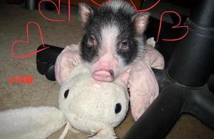 主人买了迷你猪和二哈作伴,2个月后体型却相差巨大:开外挂了?