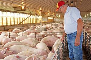 中国买家停购数千吨美国猪肉,美国百个农场破产,事情又有新进展