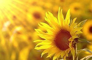 向日葵为什么会跟着太阳转?其中一个原因是:它怕阳光