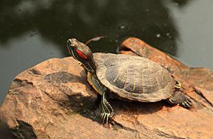地球上6大便宜又好养的宠物龟,巴西龟居榜首,你养过吗?
