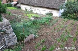 山阳森林公安救助国家二级保护动物斑羚