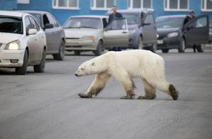 一只北极熊出现在俄罗斯街头,疑走了1500公里,安全到达全靠命硬
