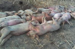 6天死了6头小猪,猪场损失接近万元,是由这个疾病造成了!