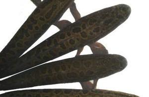 黑鱼性情凶猛堪称淡水霸王,但它也很有爱,竟会结成夫妻筑巢育鱼
