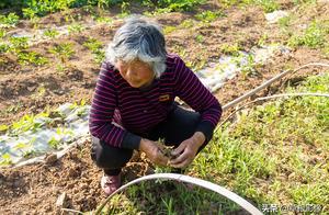 奶奶秧辣椒苗全部受损,意外收获长寿菜,蒸吃让人流口水