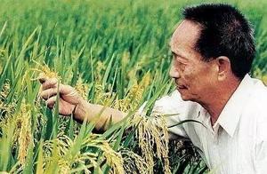 新疆沙漠试种海水稻,袁隆平:我能让水稻从各种地方长出来