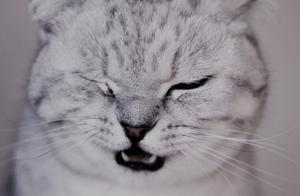 英国短毛猫萌图 这么可爱的小猫咪值得你吸一口