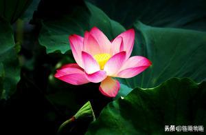 莲花是如何打败桃花成为古典诗词的爱情花的