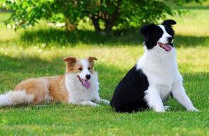 地球上3大最聪明又好养的狗狗,边牧和拉布拉多你最喜欢哪个?