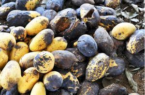 菲律宾200万公斤芒果积压滞销,1.5元都没人要,这时候想起了中国