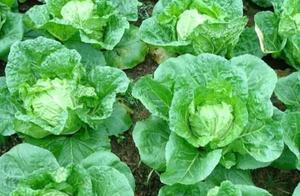 农民种的白菜上菜青虫严重,用不想用农药,用什么土方法可解决?
