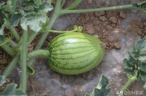 西瓜优质果形管理的9个细节,不容忽视