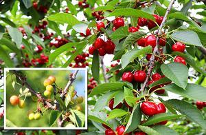进口车厘子和国产大樱桃到底有啥区别,为什么价格相差这么多?