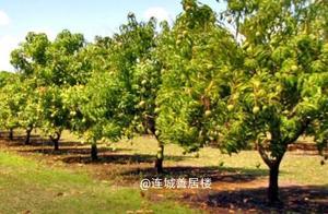菲律宾吕宋岛几百万斤芒果滞销,每斤价格跌至难以置信
