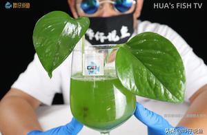 鱼缸水变绿的元凶是小球藻,爱它的人如获至宝,厌它的人如临大敌