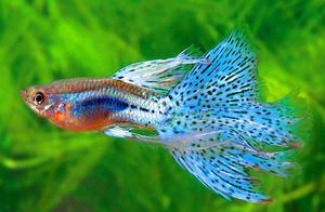 鱼缸孔雀鱼团灭,今天找到原因了,蛋白棉对孔雀鱼影响真大
