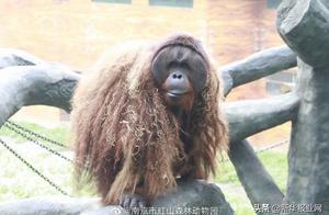 """乐申意外离世!20年,""""明星猩猩""""与南京说不完的故事"""