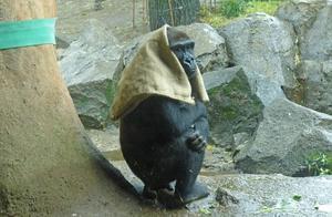 日本40岁母猩猩成网红 一下雨就把麻袋披头上