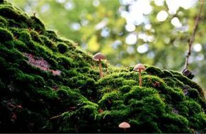 清新雅致的盆景青苔,多是人工种植,非常简单的方法