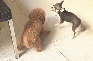 吉娃娃和小泰迪吵架,小泰迪:专业骂狗20年,终于遇到对手了!