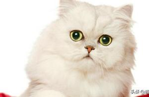 你养过金吉拉猫吗?它虽然是五短身材,但大眼睛早已把人萌翻~