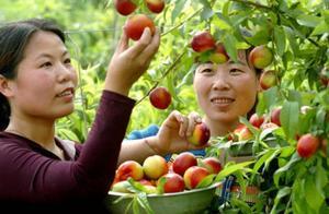 桃树肥水调控胜于多效唑!如何搞好树势问题