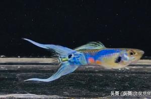 孔雀的饲料使用技巧(2-5)(观赏鱼世界)孔雀鱼