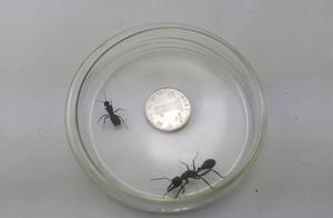 """别把物种入侵不当回事,青岛海关查获澳洲""""巨无霸""""蚂蚁"""