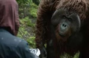 中国第一只会画画的猩猩在南京诞生!你猜它画了啥