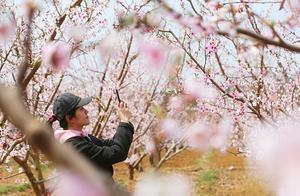 请问我们21号要去平谷看桃花桃花开了吗有没有可以在桃花林里吃饭的好地方