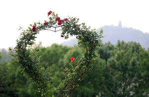 你是我的眼睛、蓝色梦想……这些特别的月季,在爱的五月一定要带TA去辰山看看