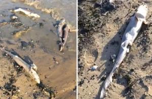 """触目惊心!惨遭渔民""""割鳍""""扔回大海 上百条鲨鱼尸体被冲上沙滩"""