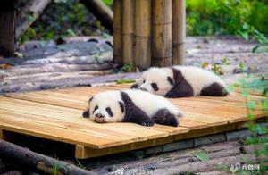 香港法律规定对大熊猫发火监禁1个月,破坏花花草草罚款2.5万港币