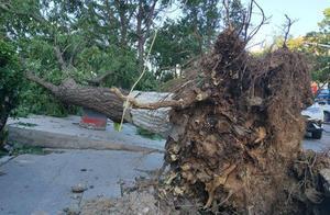 大风惹祸 燕郊10多棵大树被刨根