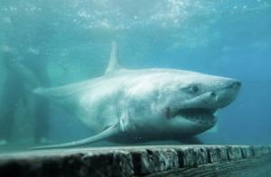 史上第一次!3米长大白鲨现身美国长岛海峡