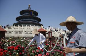 天坛祈年殿前达42°C,园艺师顶草帽穿长袖照料月季花