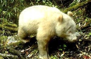 """白色大熊猫现身四川卧龙 专家:区域种群存""""白化""""突变基因"""