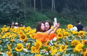 美爆了!四川乐山一公园300000株向日葵花开成海