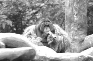 """红山动物园明星红猩猩""""乐申""""意外离世"""