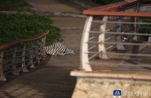 深圳湾公园附近海域发现一具尸体,警方正在调查