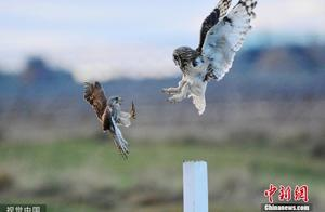 红隼与猫头鹰争斗 空中相争动作敏捷