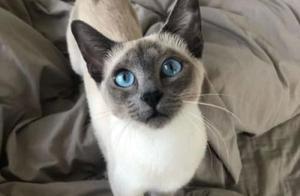 最实惠的品种猫,关于暹罗猫的饲养,有4个不容忽视的知识点